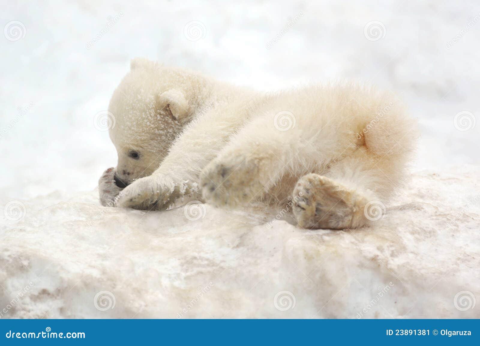 arctic tundra polar bear