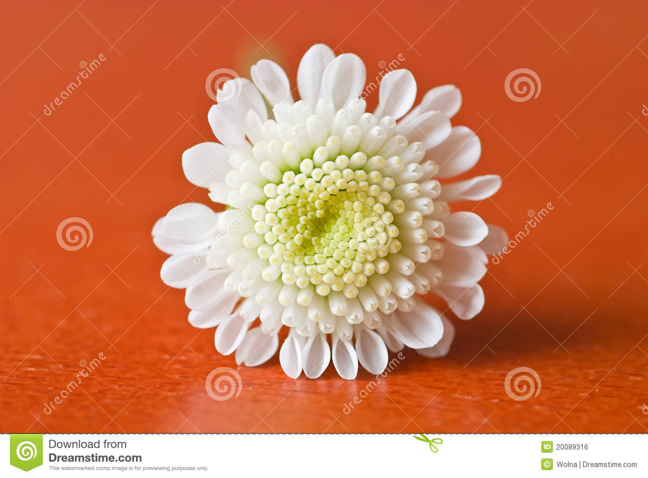 Small White Chrysanthemum Royalty Free Stock Image Image