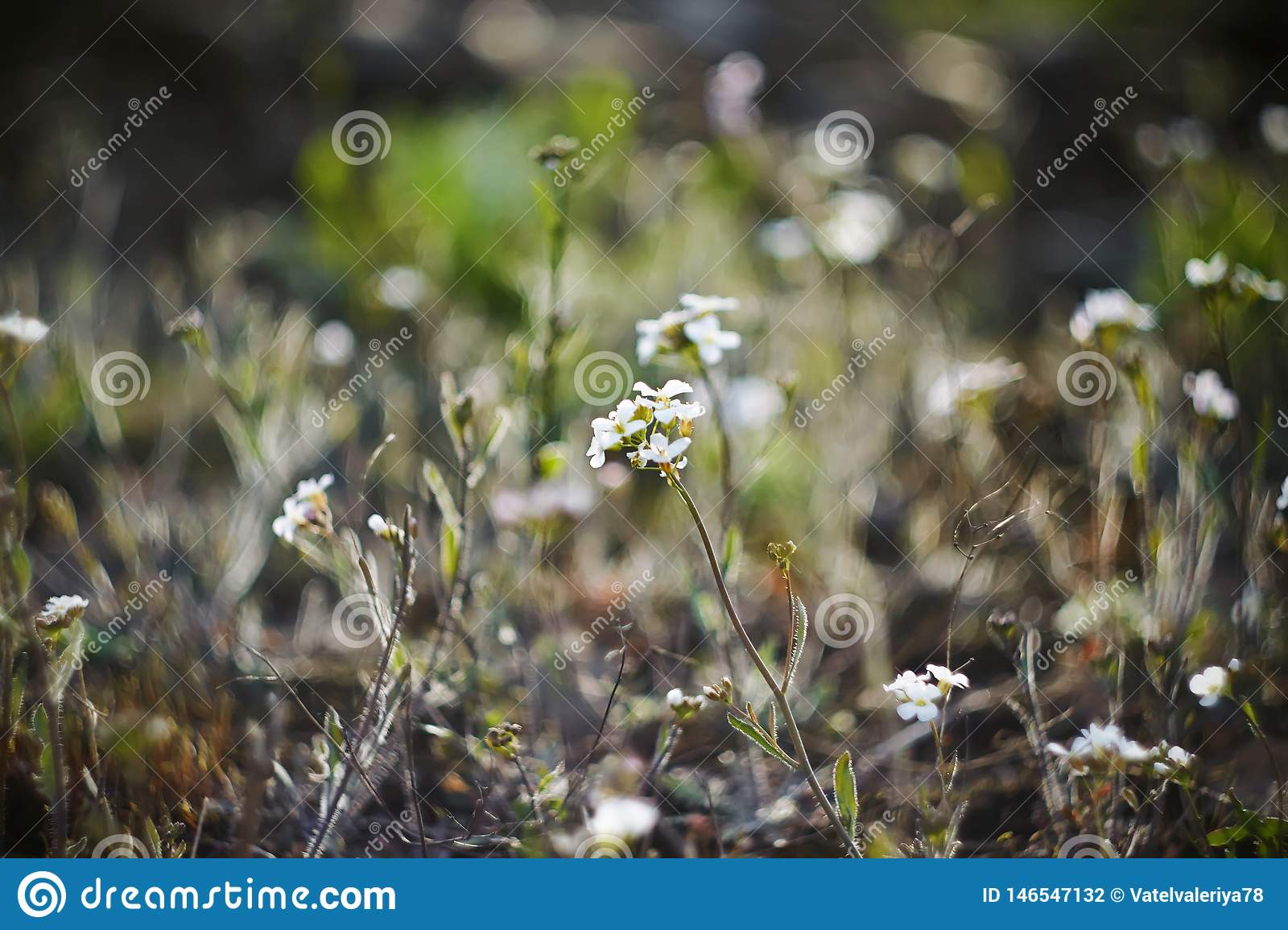 Small white delicate spring flowers