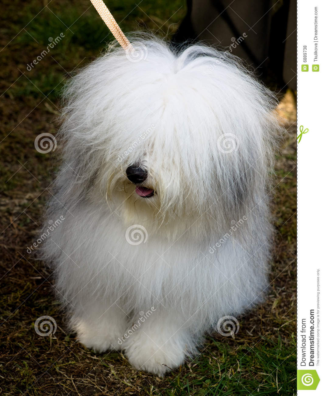 Small White Colored Bathrooms To Get A Huge Functions: Small White Dog, Breed-ODIS Stock Photo