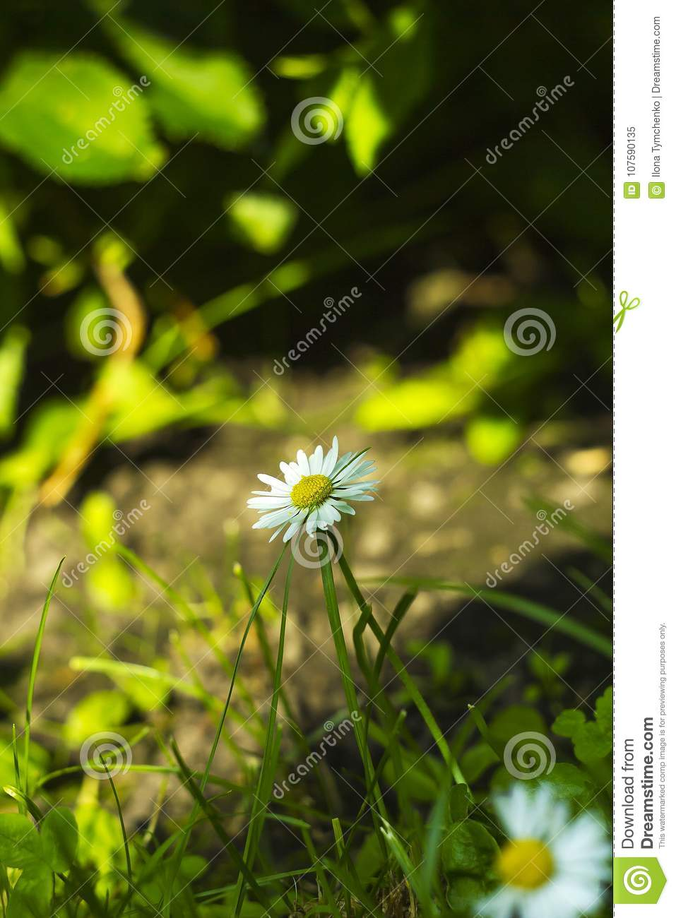Small White Field Flower Bellis Perennis In Grass Stock Image