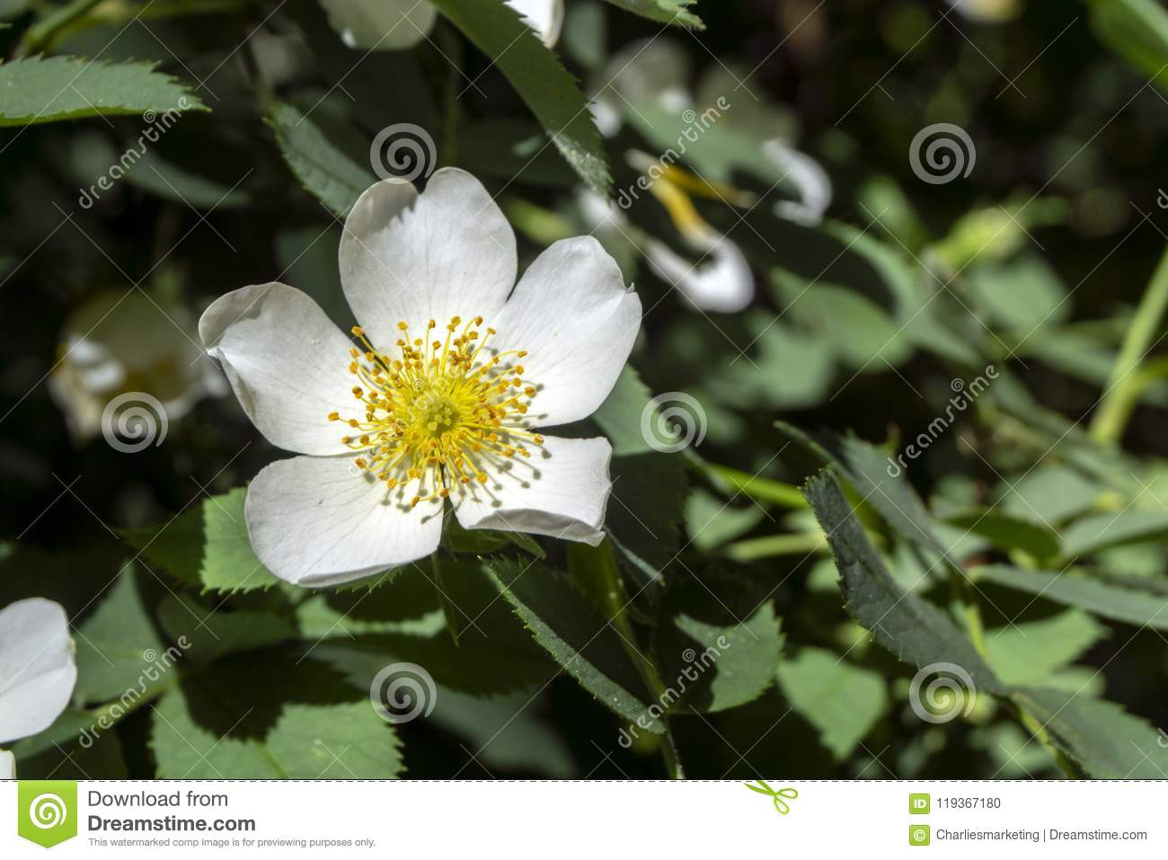 Small White Flower In Foliage With Yellow Center Stock Photo Image