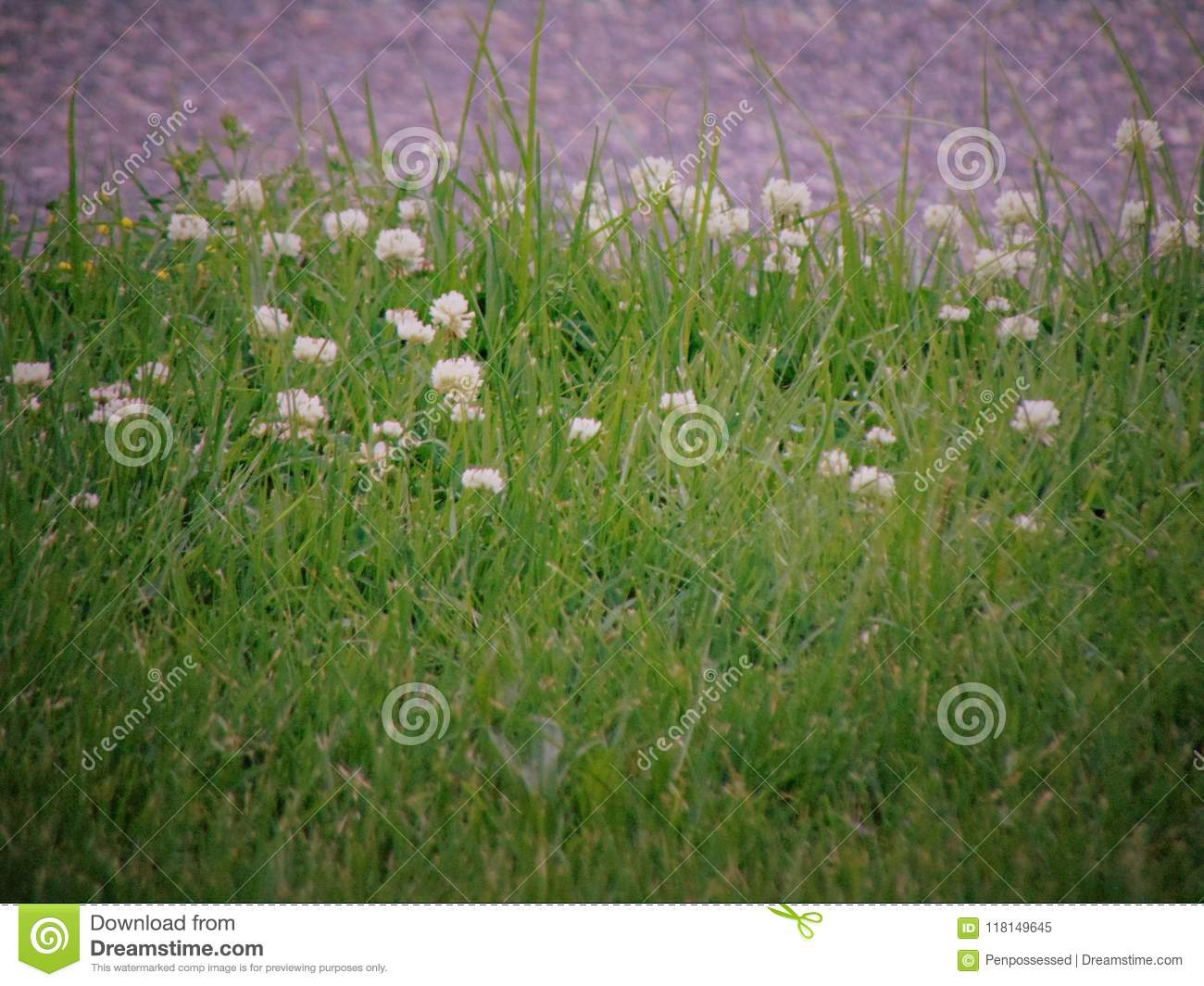 Small White Flowering Weeds Growing In Tall Grass Stock Image
