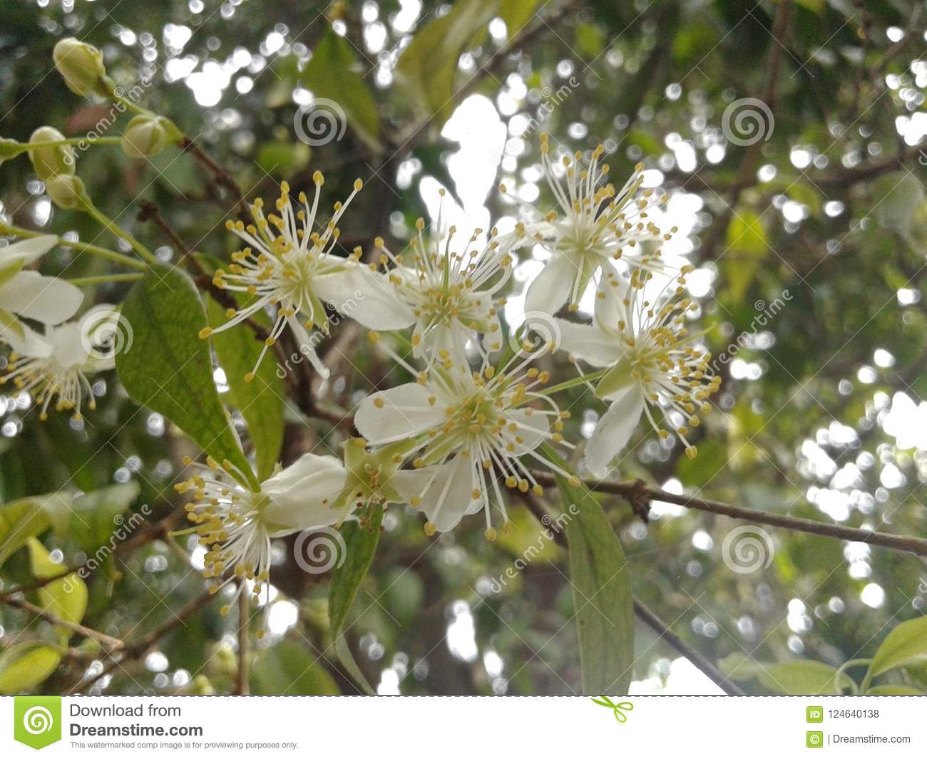 Small White Flowers Of Angapiri Stock Photo Image Of Tree Petals