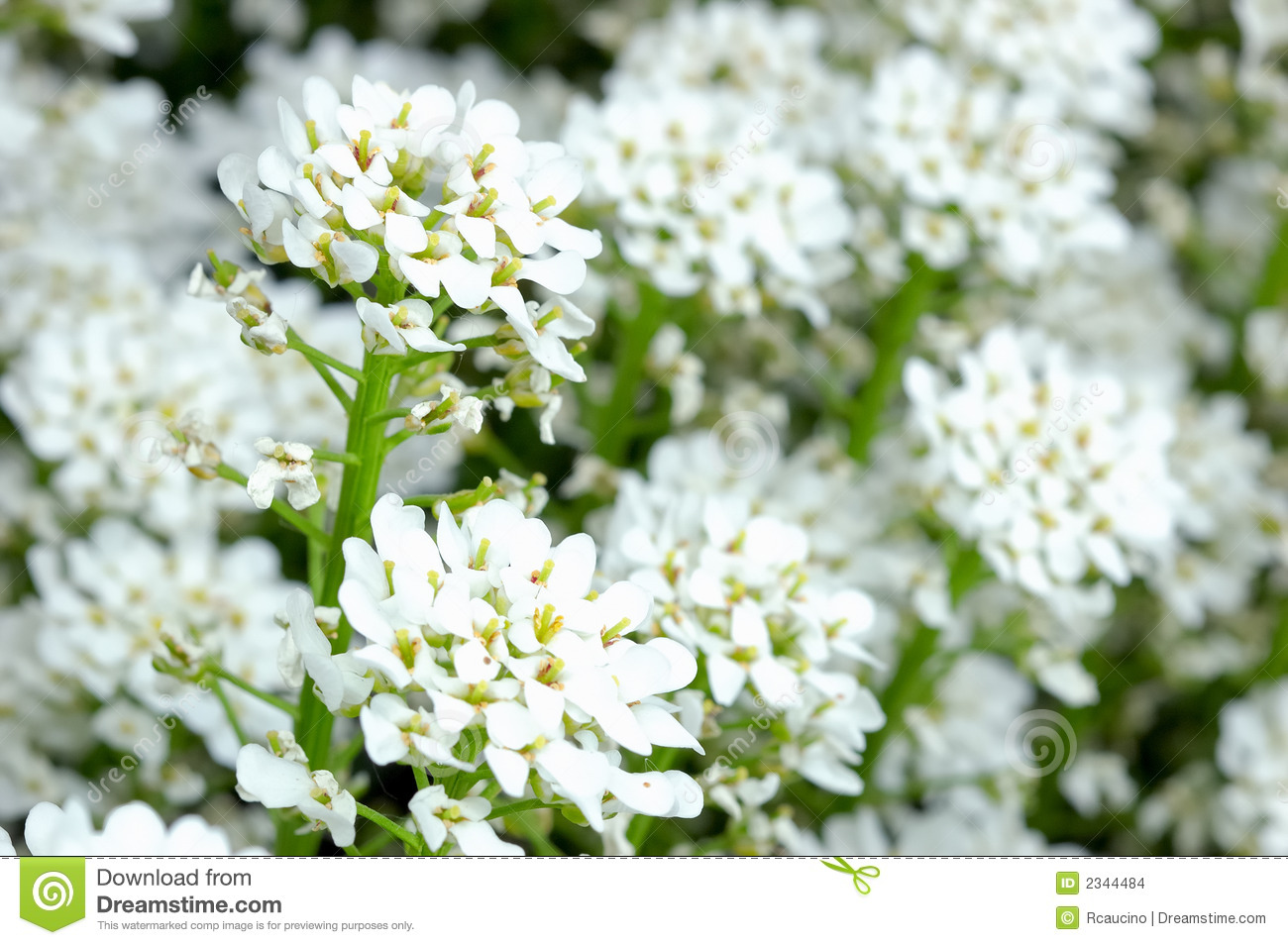 Small white flowers stock photo image of growing nature 2344484 small white flowers mightylinksfo