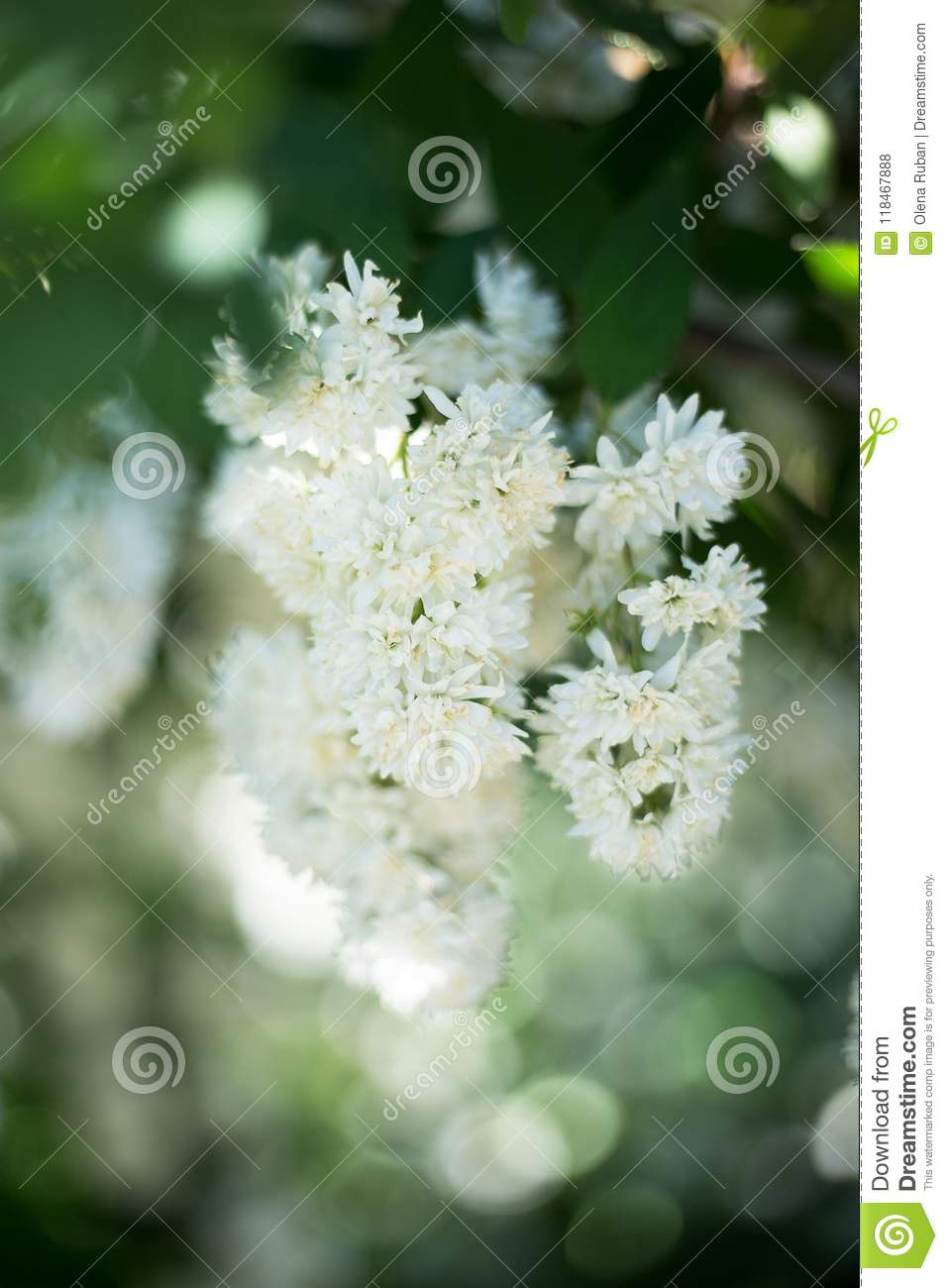 Small White Flowers On Branch Stock Photo Image Of Blue Bloom