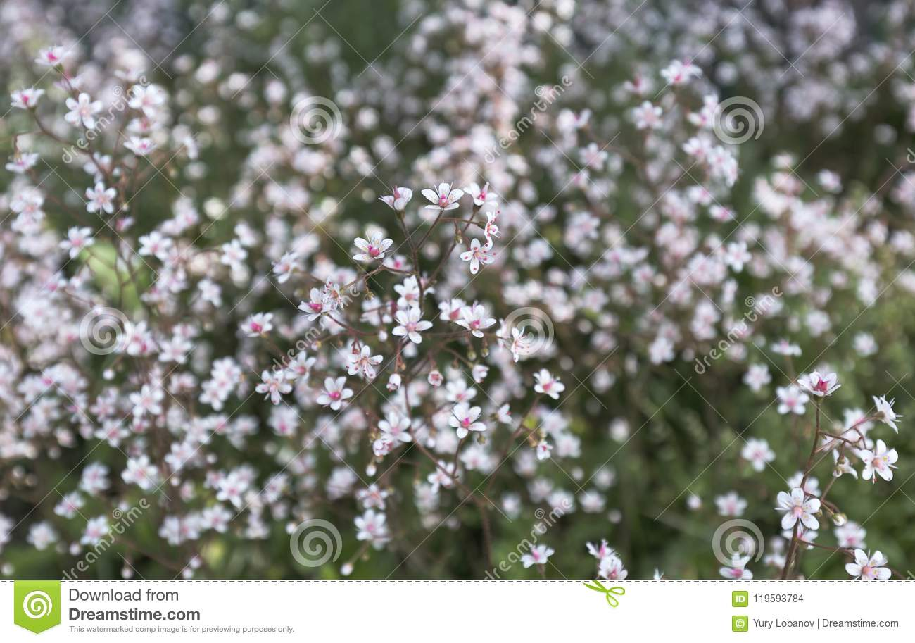 Small White Flowers With A Bright Pink Middle On A Motley Blurred