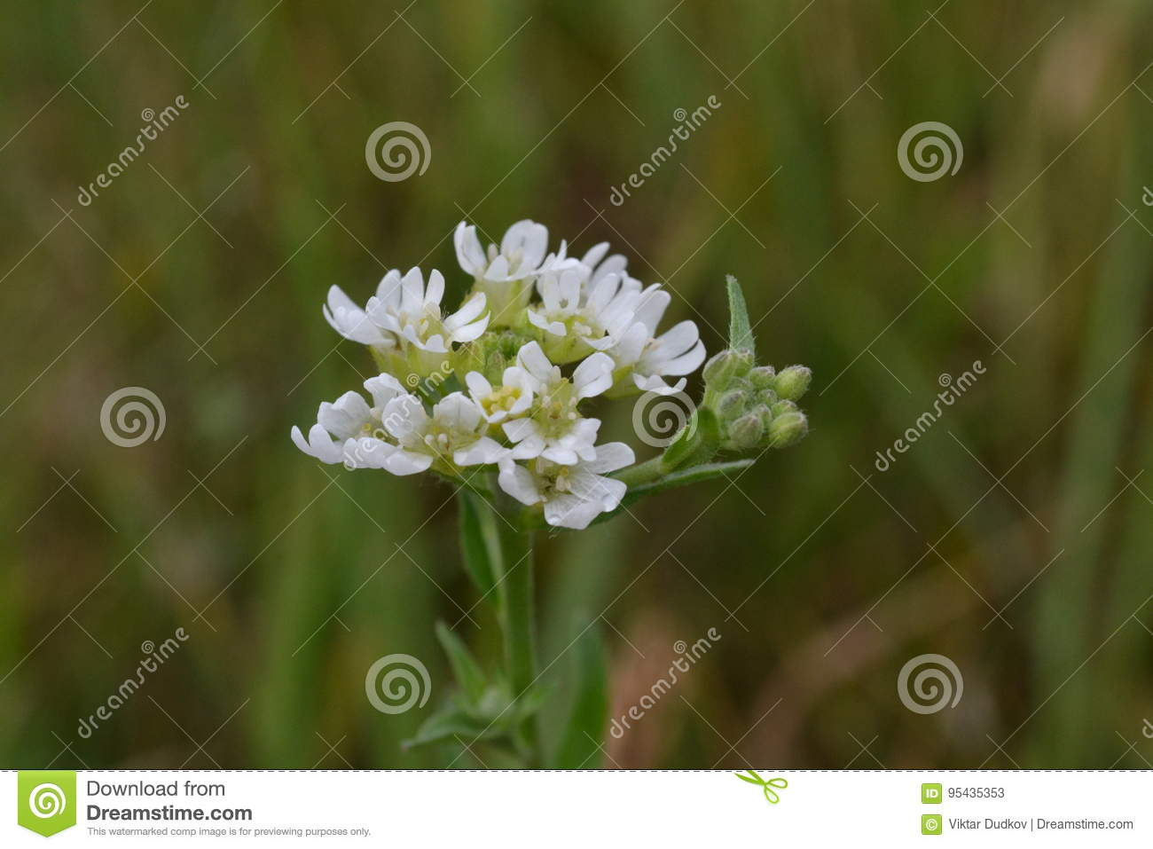 Small White Flowers And Buds On The Grass Background In The Early