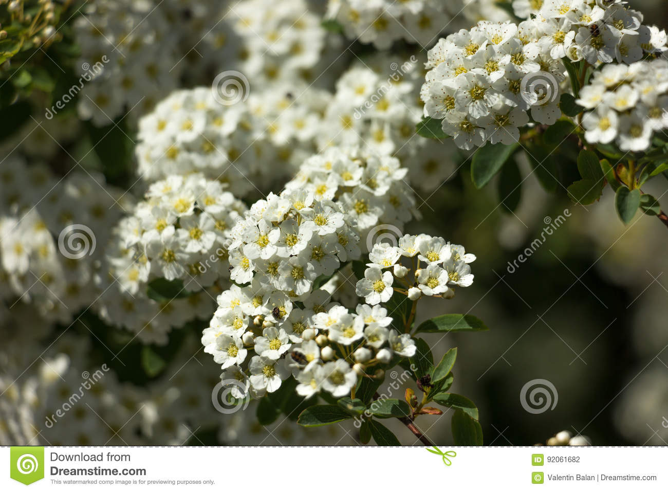 Small white flowers stock photo. Image of bouquet, garden - 92061682