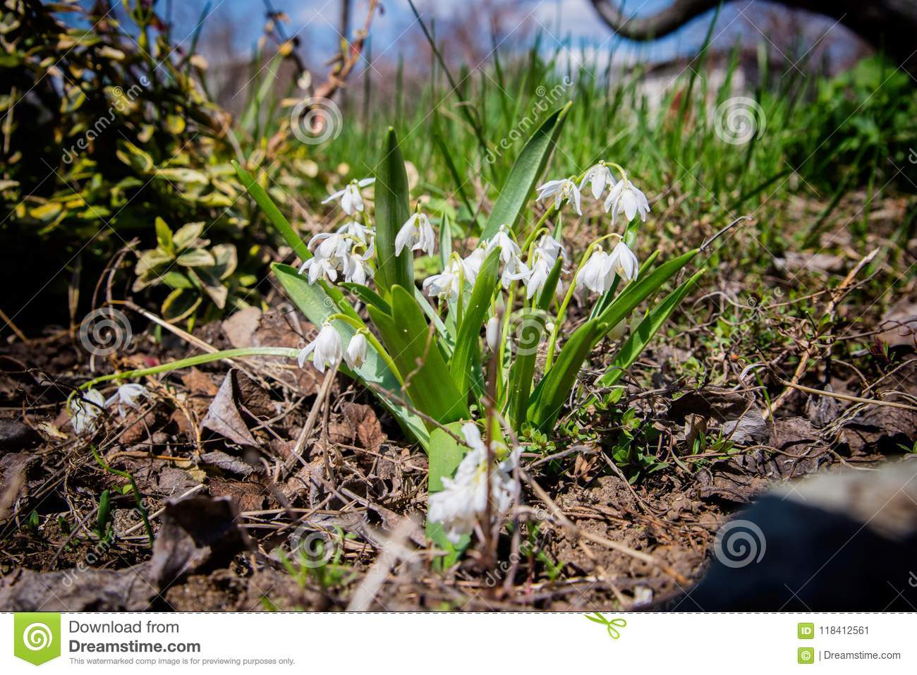 Small White Flowers In The Garden In Early Spring Stock Image