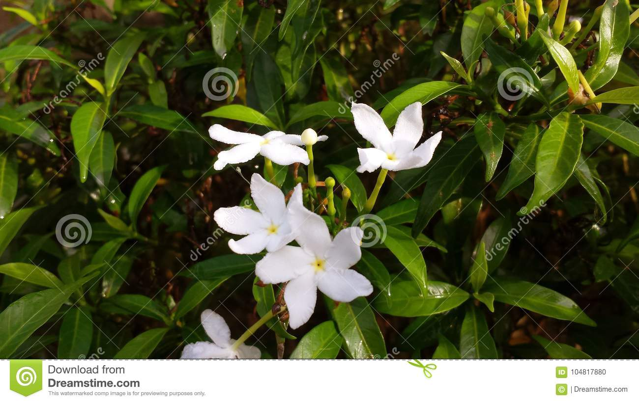 Small white flowers stock photo image of leaf floral 104817880 download small white flowers stock photo image of leaf floral 104817880 mightylinksfo