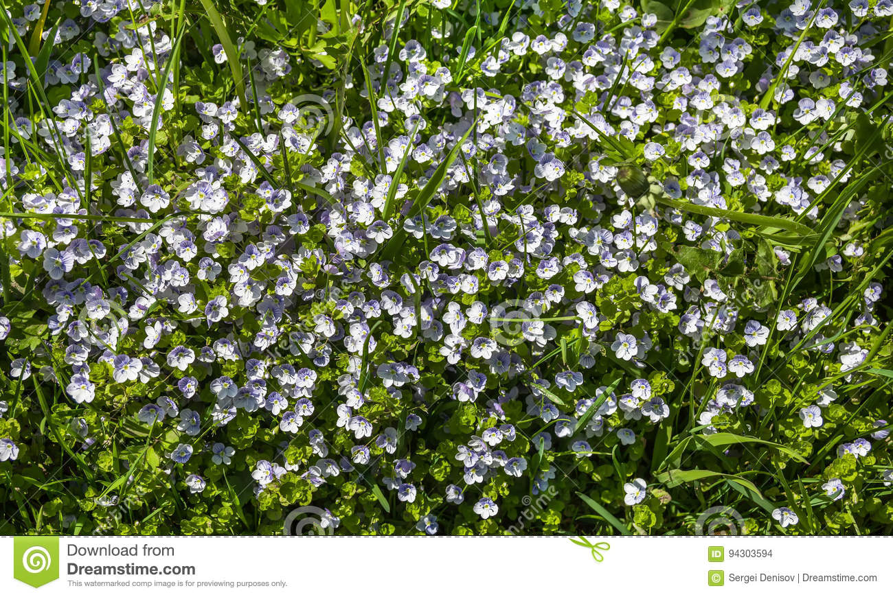 Small White Flowers In The Grass Stock Photo Image Of Blue Plant