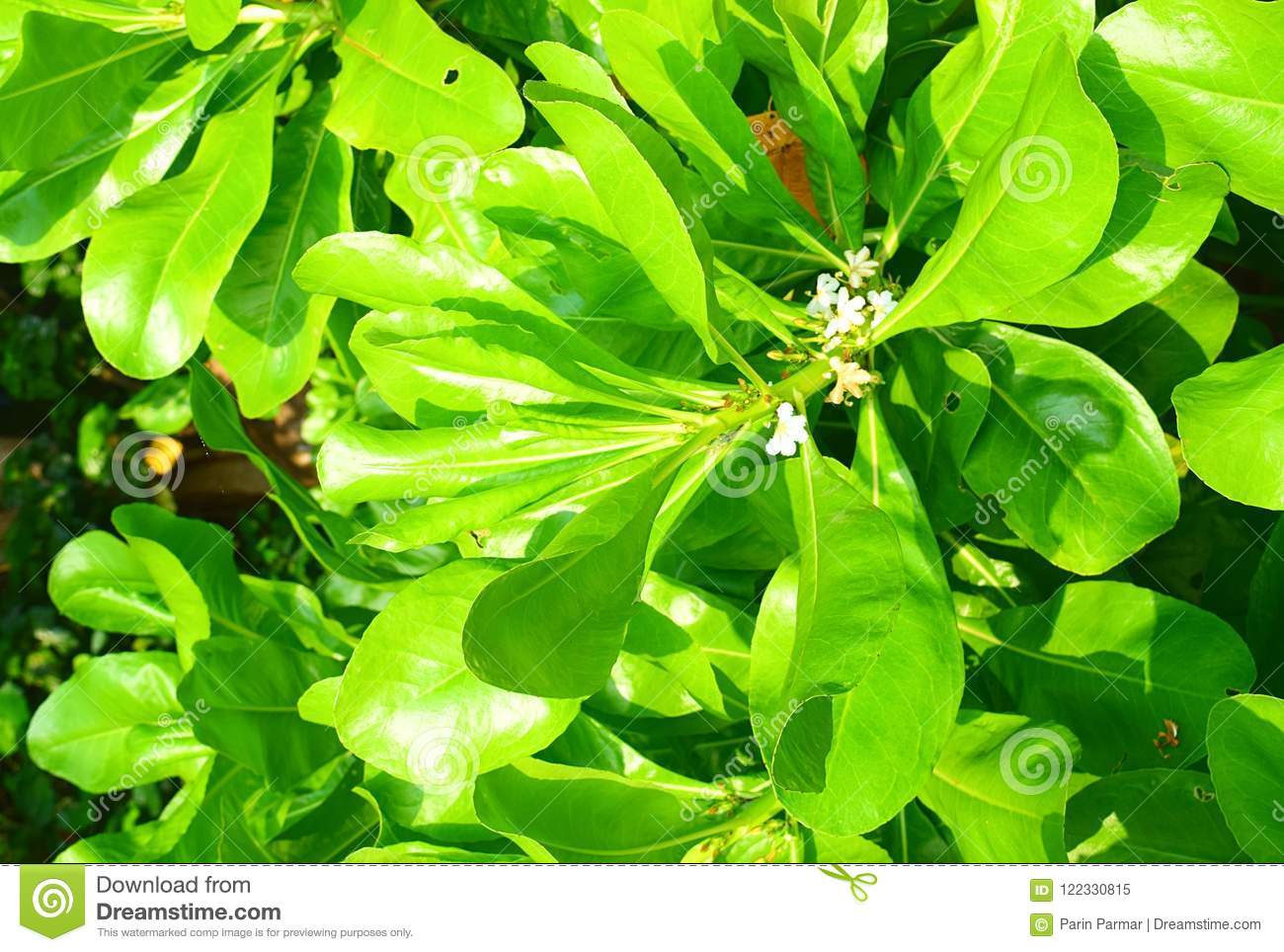 Small white flowers and large green leaves of mangrove tree stock this is a photograph of small white flowers and large green leaves of a mangrove tree the image is captured at andaman islands india mightylinksfo