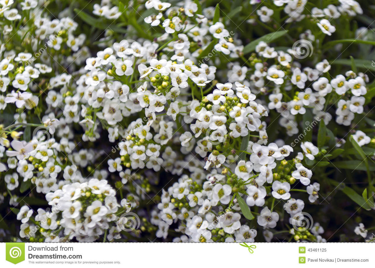 Small white flowers stock image image of many field 43461125 small white flowers mightylinksfo