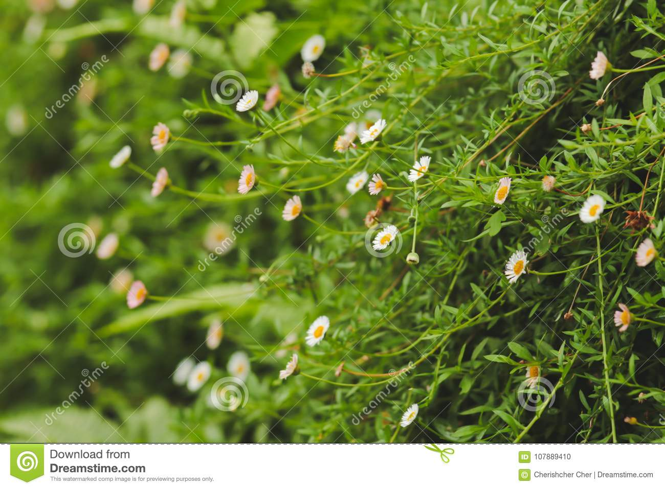 Small White Flowers In The Natural Garden Stock Photo Image Of
