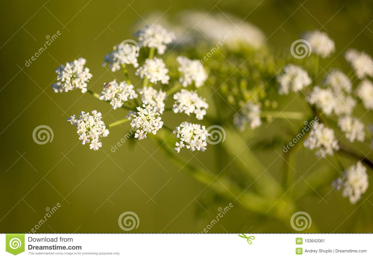 Small White Flowers On A Plant In Nature Stock Image Image Of