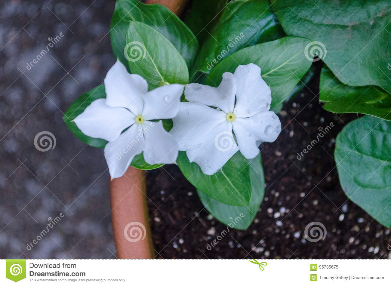Small White Flowers In A Pot Stock Image Image Of Colors Flowers