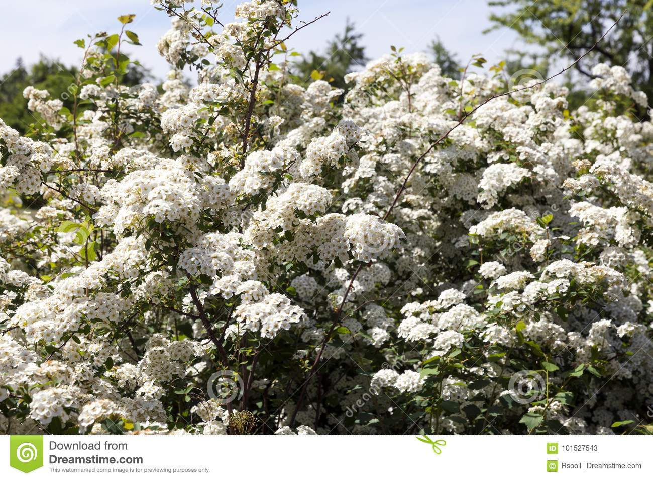 Small White Flowers Stock Image Image Of Blossom Florist 101527543