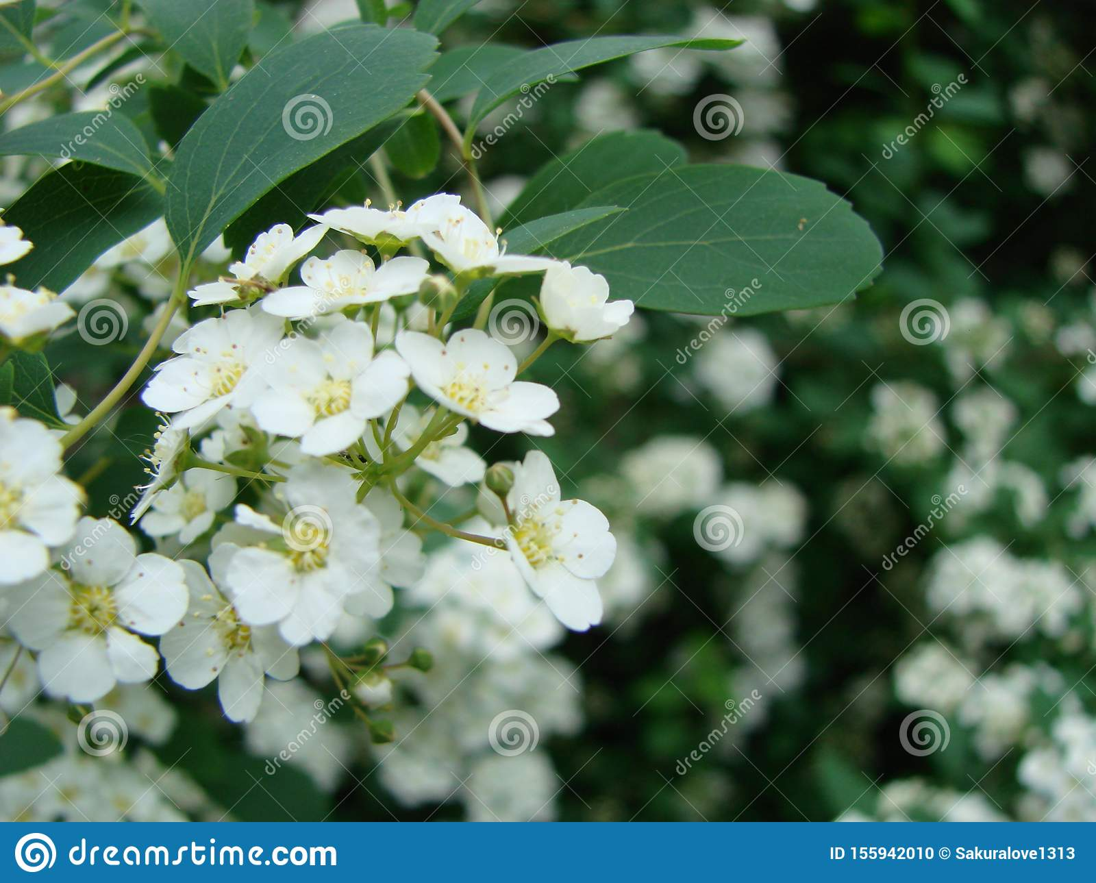 Small, white flowers in sumptuous clusters along leafy Spirea shrub branches