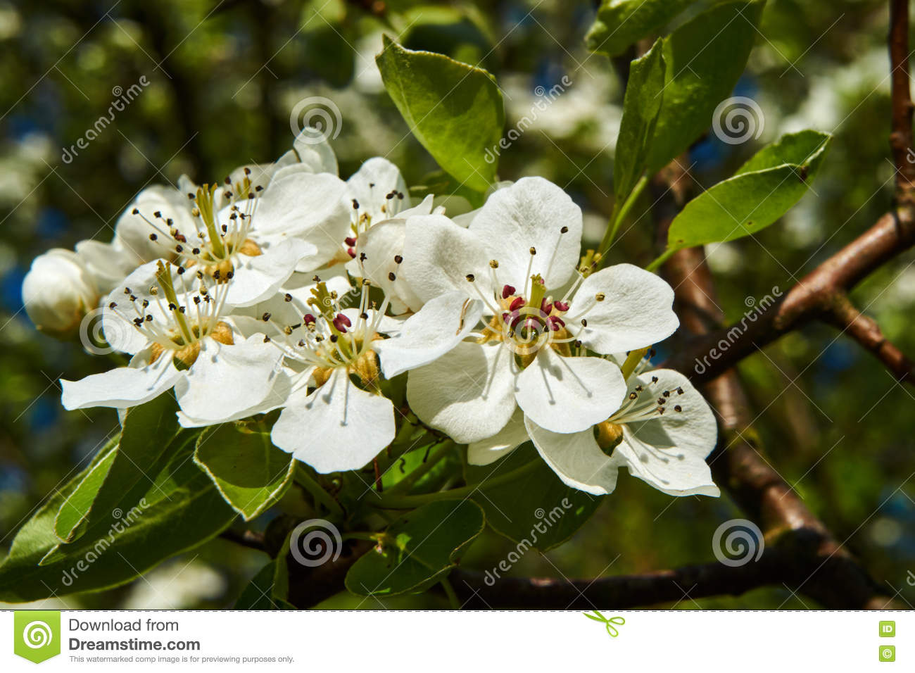 Small white flowers on a tree in the spring stock image image of download small white flowers on a tree in the spring stock image image of europe mightylinksfo