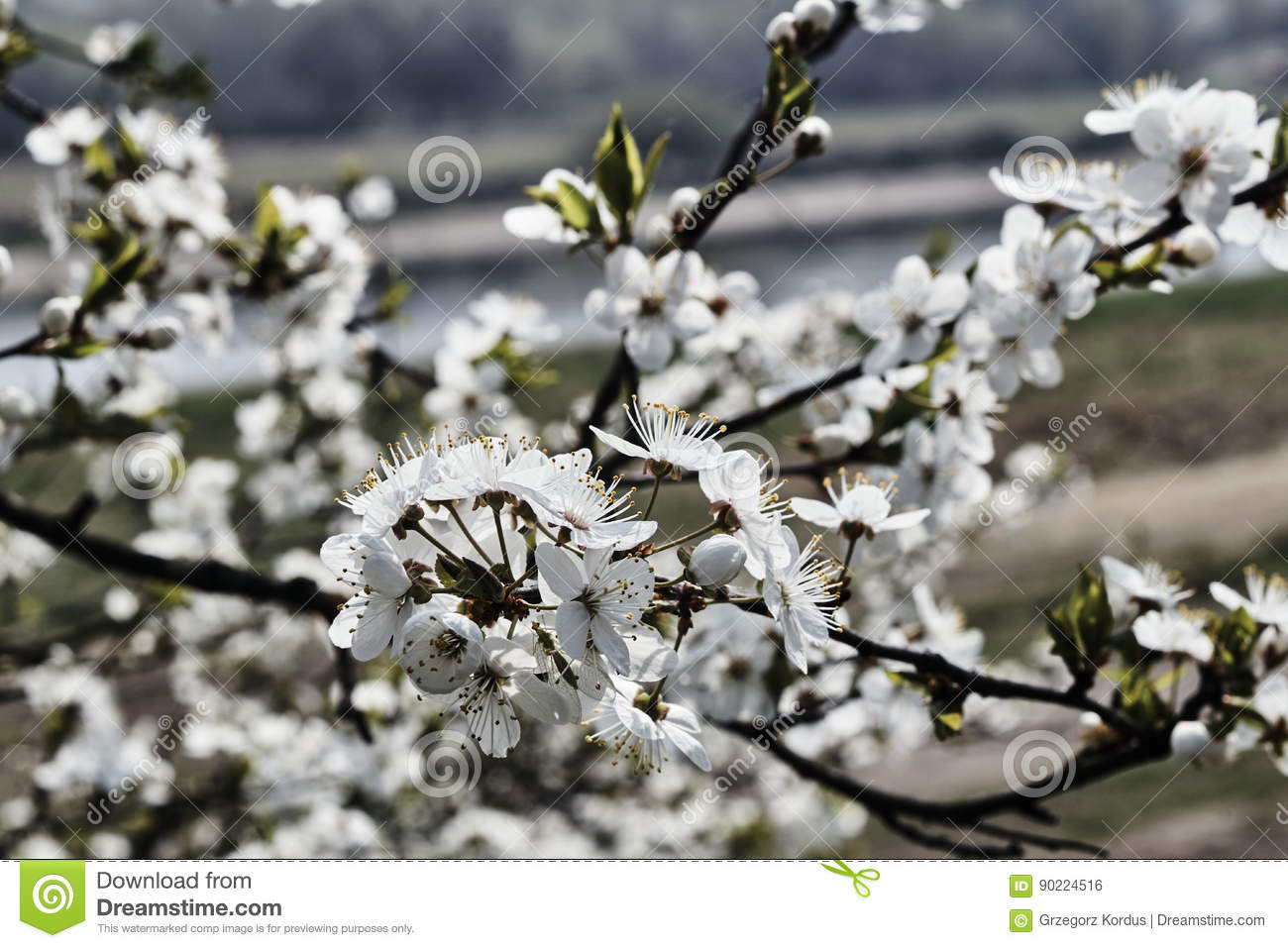 Small White Flowers On A Tree Stock Photo Image Of Nature Flora