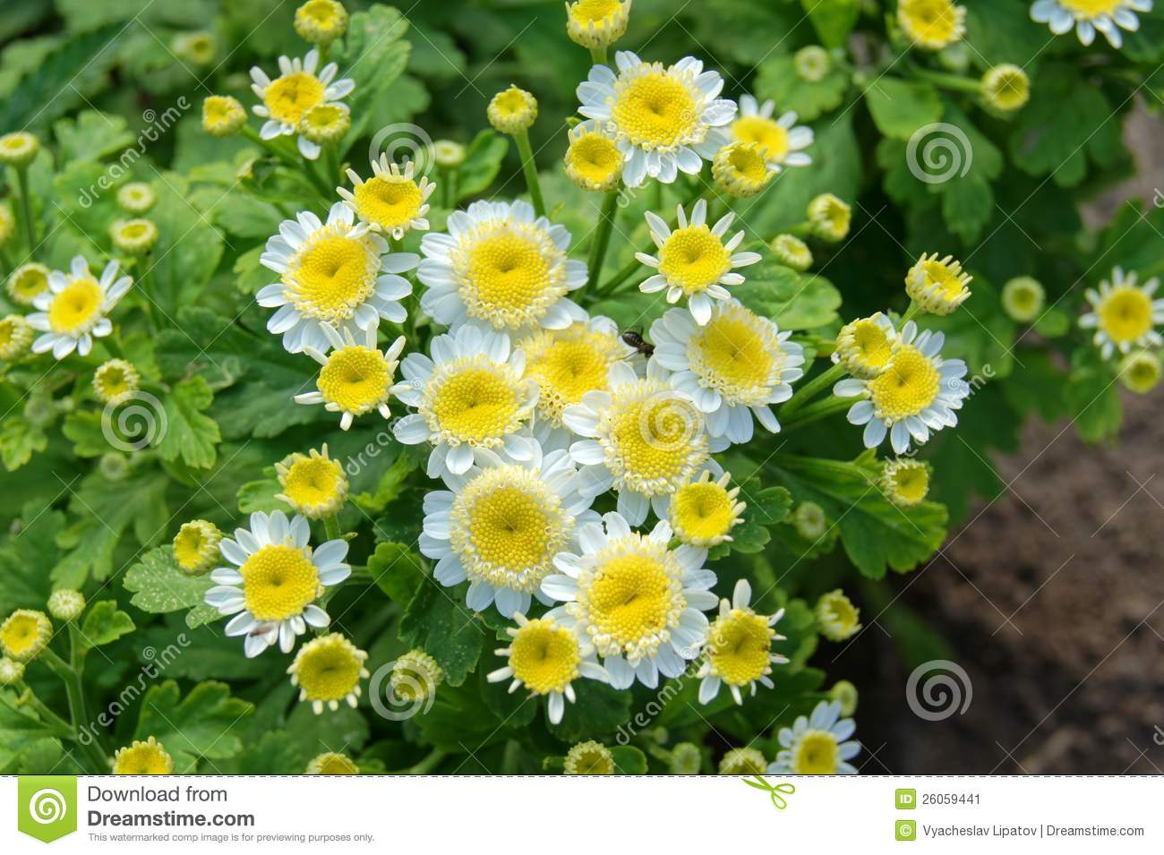 Small White Flowers With Yellow Middle Stock Image Image Of Clear