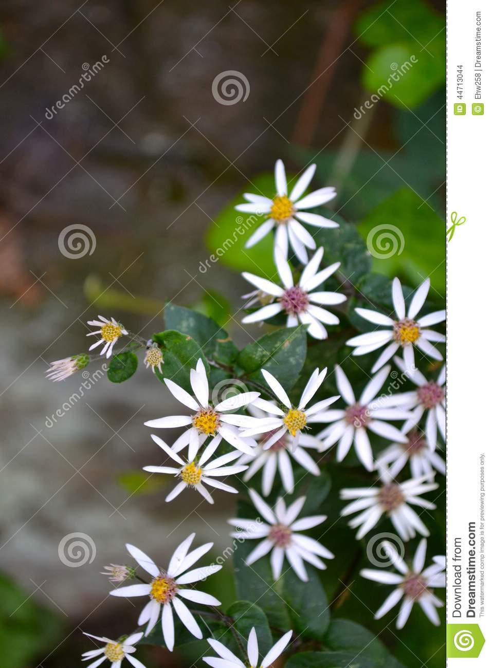 Small White Flowers Yellow Pink Centers Stock Photo Image Of