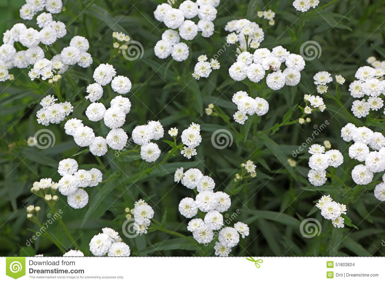 Small White Garden Flowers Stock Photo Image Of Growth 51803824
