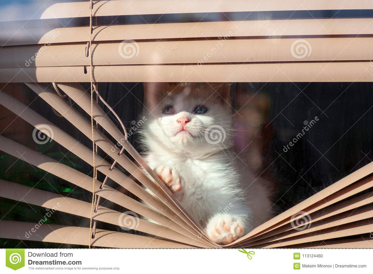 Small White Kitten In The Blinds On The Window Stock Photo Image