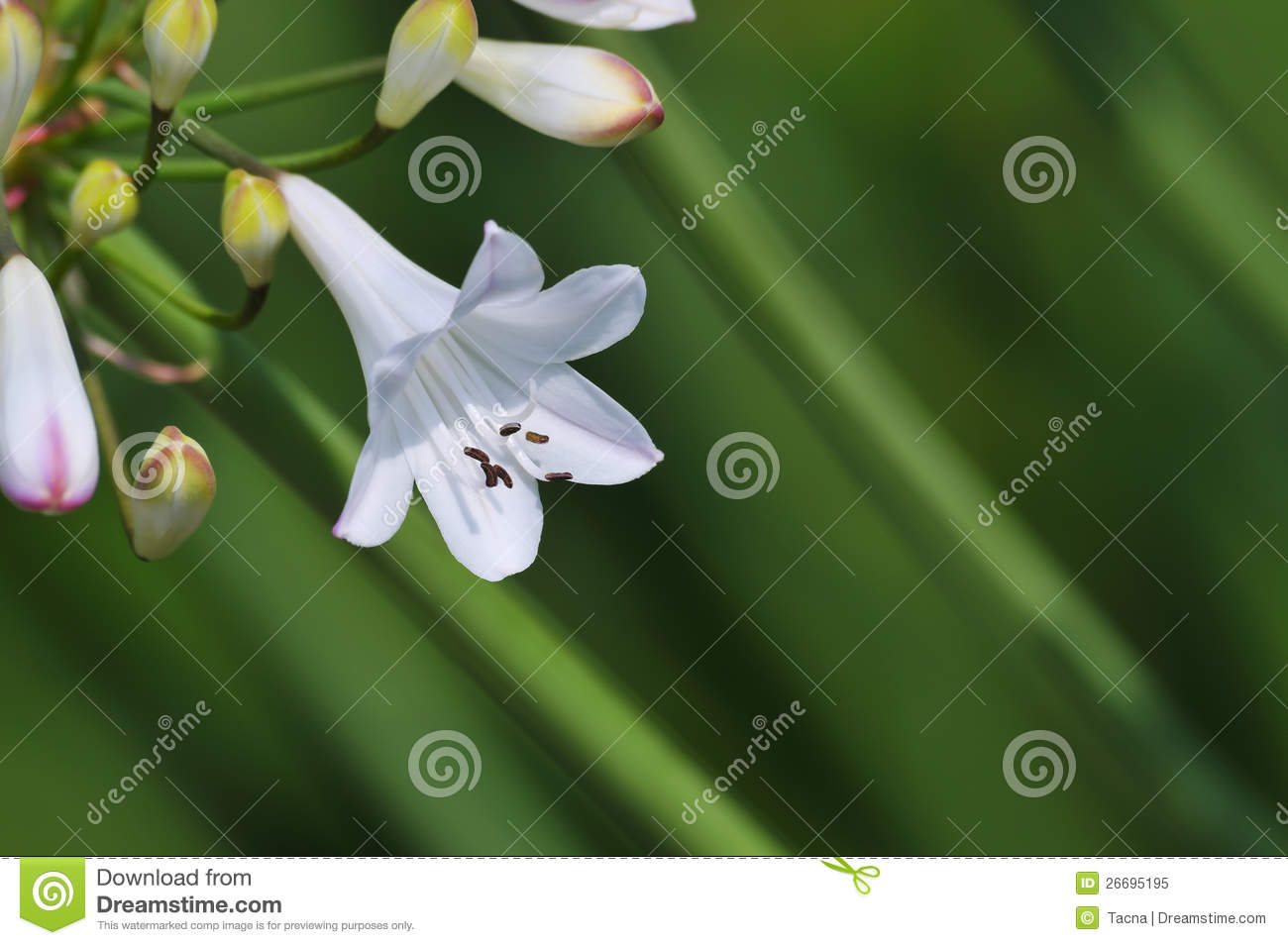 Small white lily on green stock image image of europe 26695195 download small white lily on green stock image image of europe 26695195 izmirmasajfo