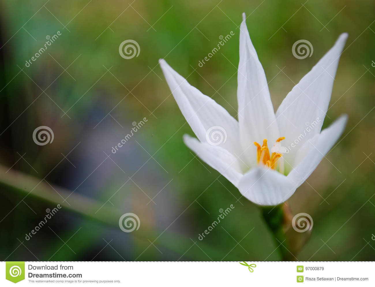 Small white lily stock image image of flower asia small 97000879 download small white lily stock image image of flower asia small 97000879 izmirmasajfo