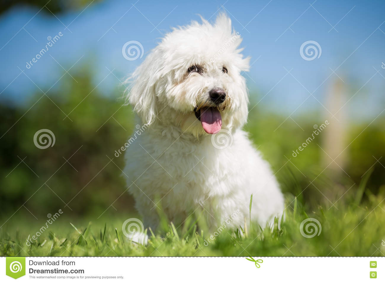 Small White Long Haired Dog Portrait Stock Image Image Of Breed