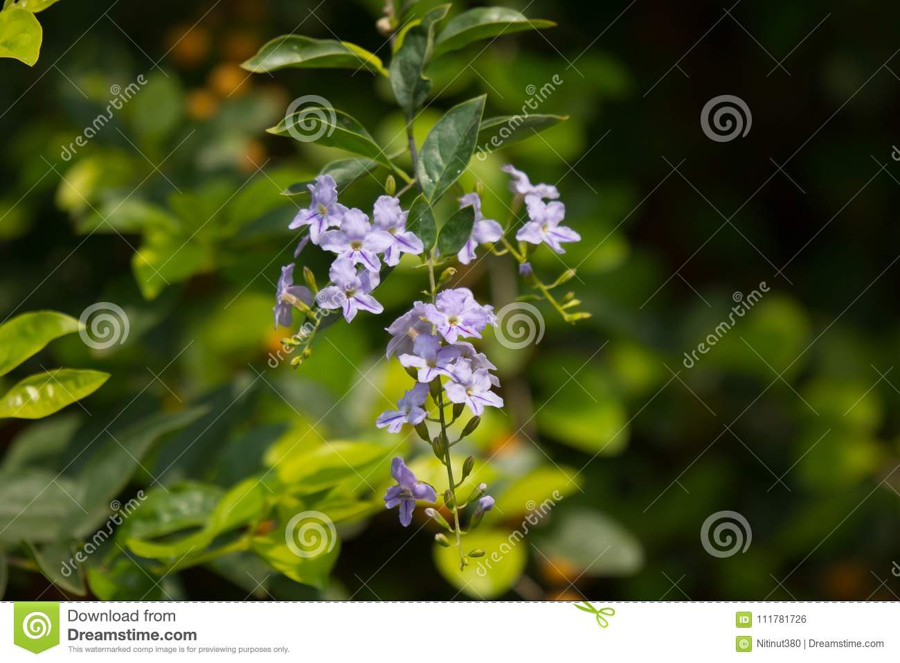 Small white mix violet flower or Duranta repens Flower