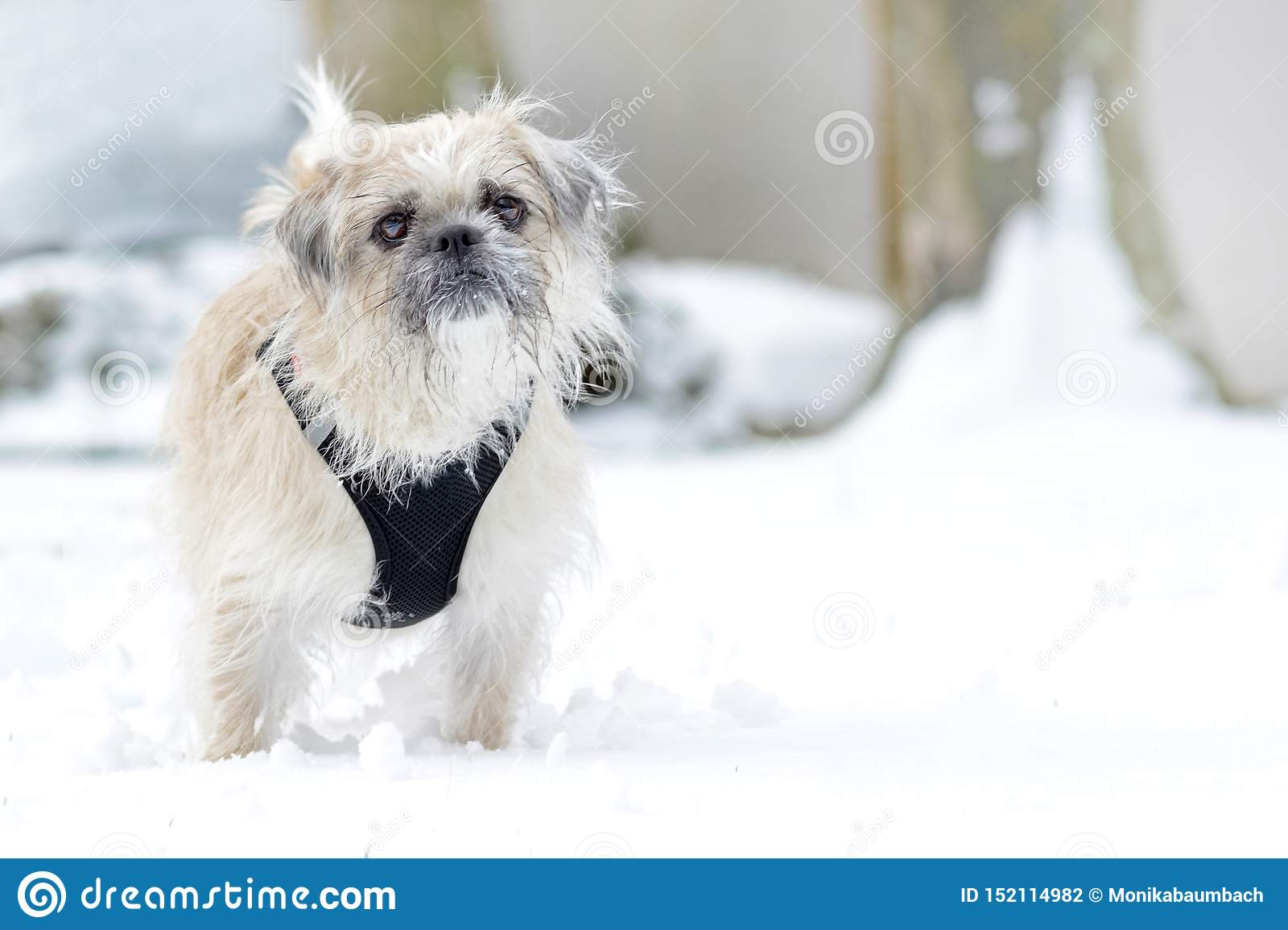 White mixed breed female dog with scraggy fur and black harness standing in snow