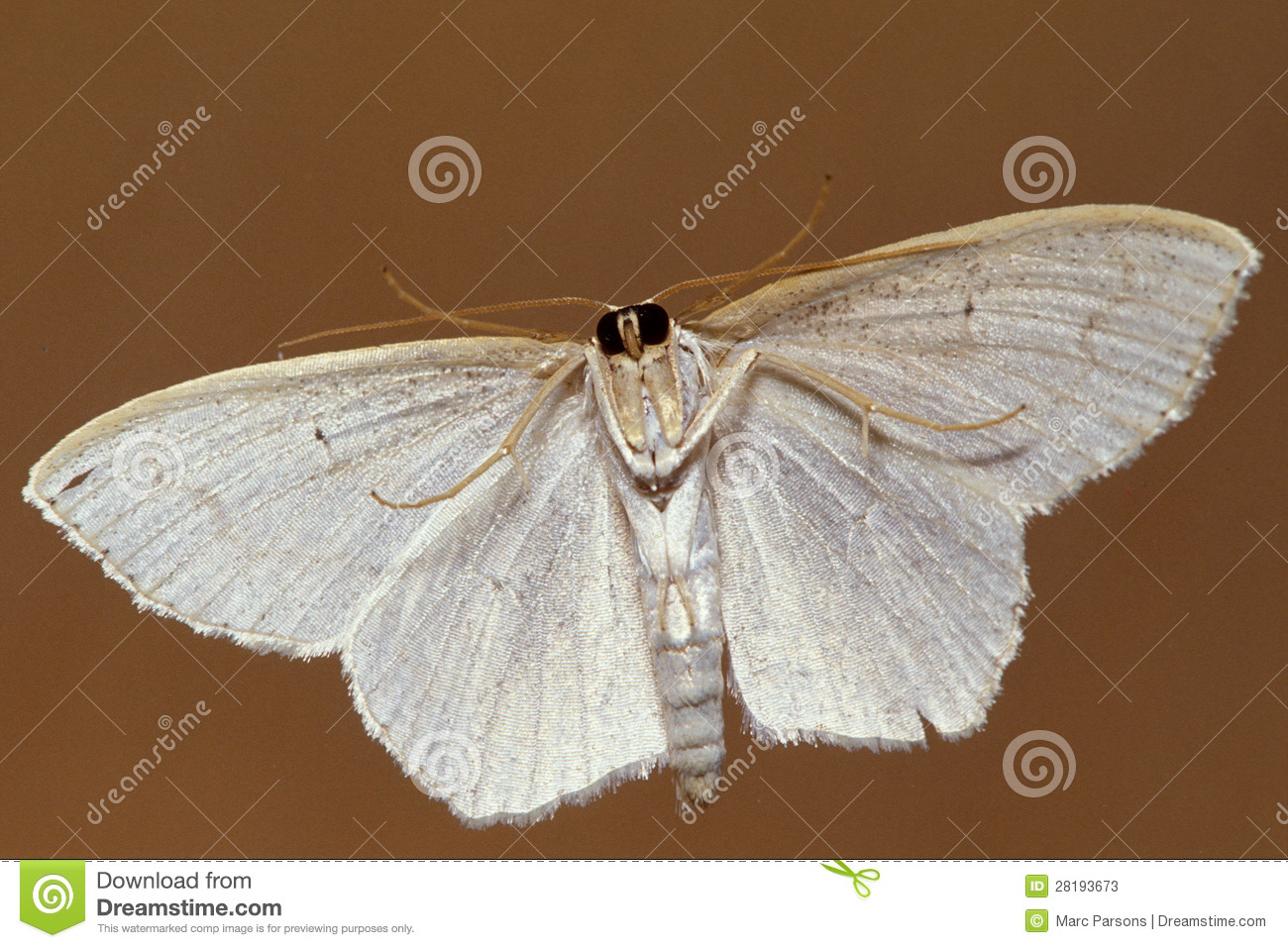 Small White Moth Underside Stock Photos - Image: 28193673