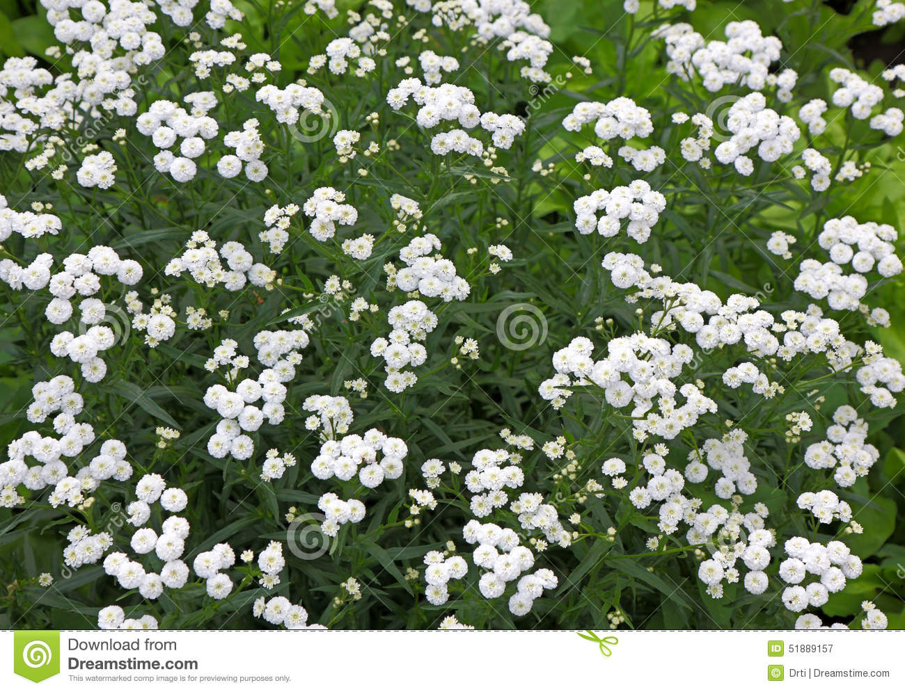Small white perennial bush flowers stock image image of bush herb download comp izmirmasajfo