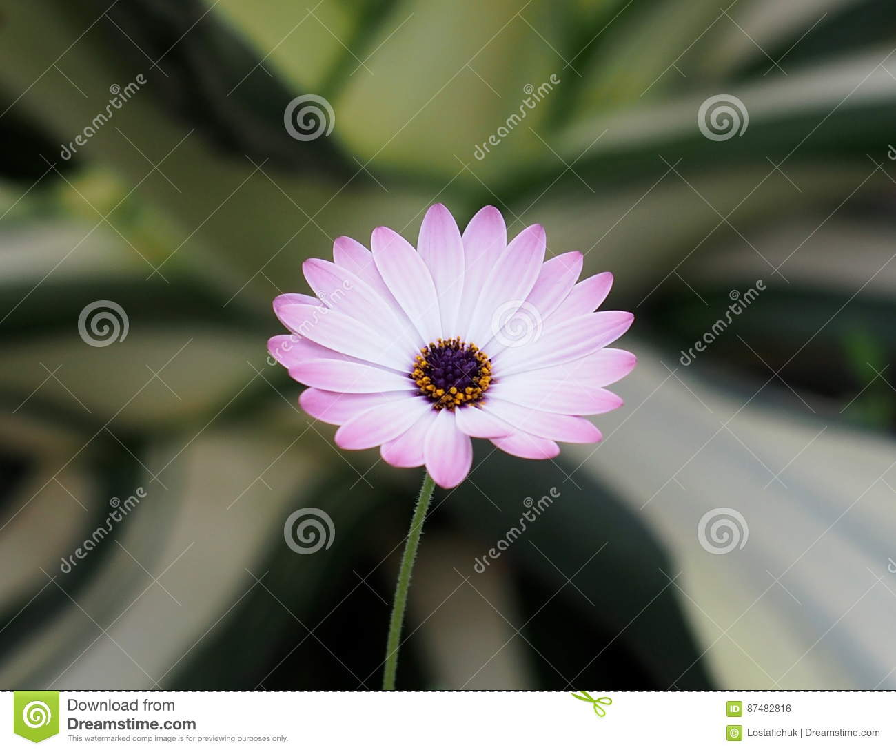Small White And Pink Composite Flower Stock Photo Image Of