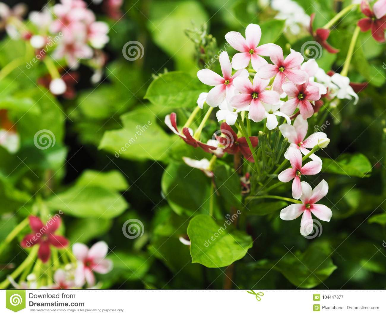 Small white and pink creeper flowers with green leaves stock image small white and pink creeper flowers with green leaves mightylinksfo