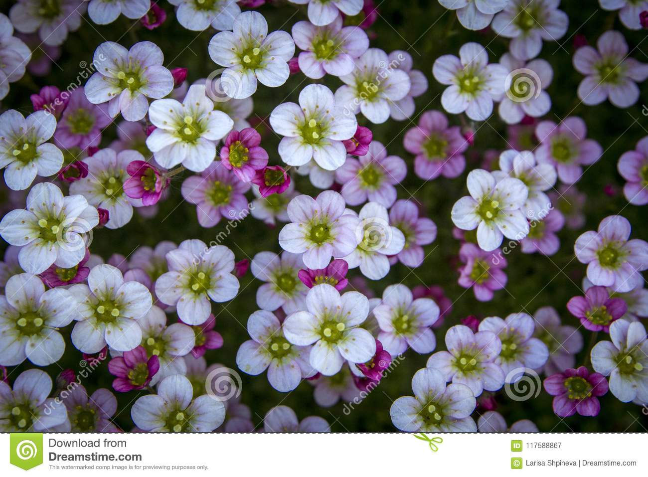 Small White Pink Flowers On Toned On Gentle Soft Dark Background