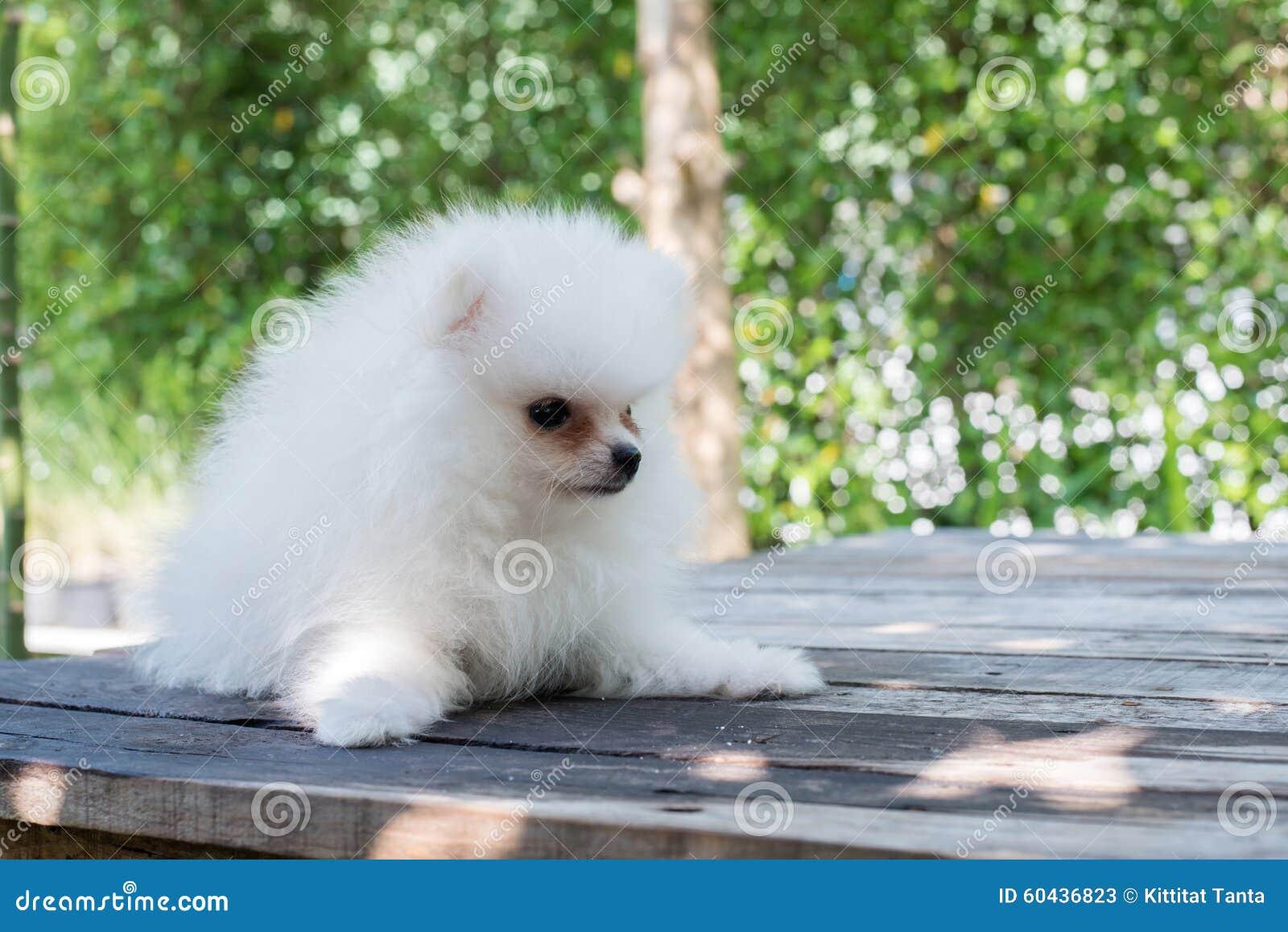 Small White Pomeranian Dog Stock Image Image Of Bushy 60436823