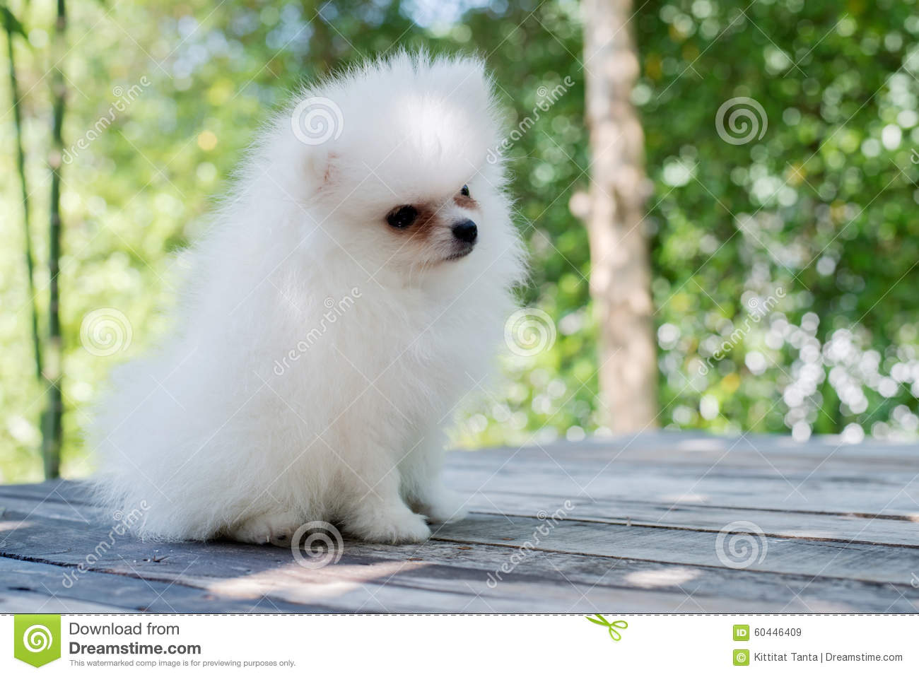 Small White Pomeranian Dog Stock Image Image Of Table Popular