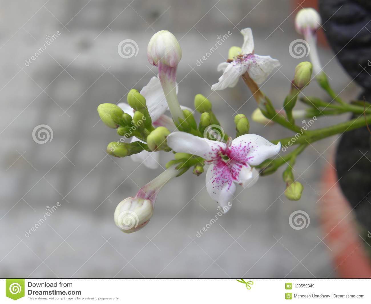 Small White And Purple Color Flower Of Jasmine Plant Stock Image