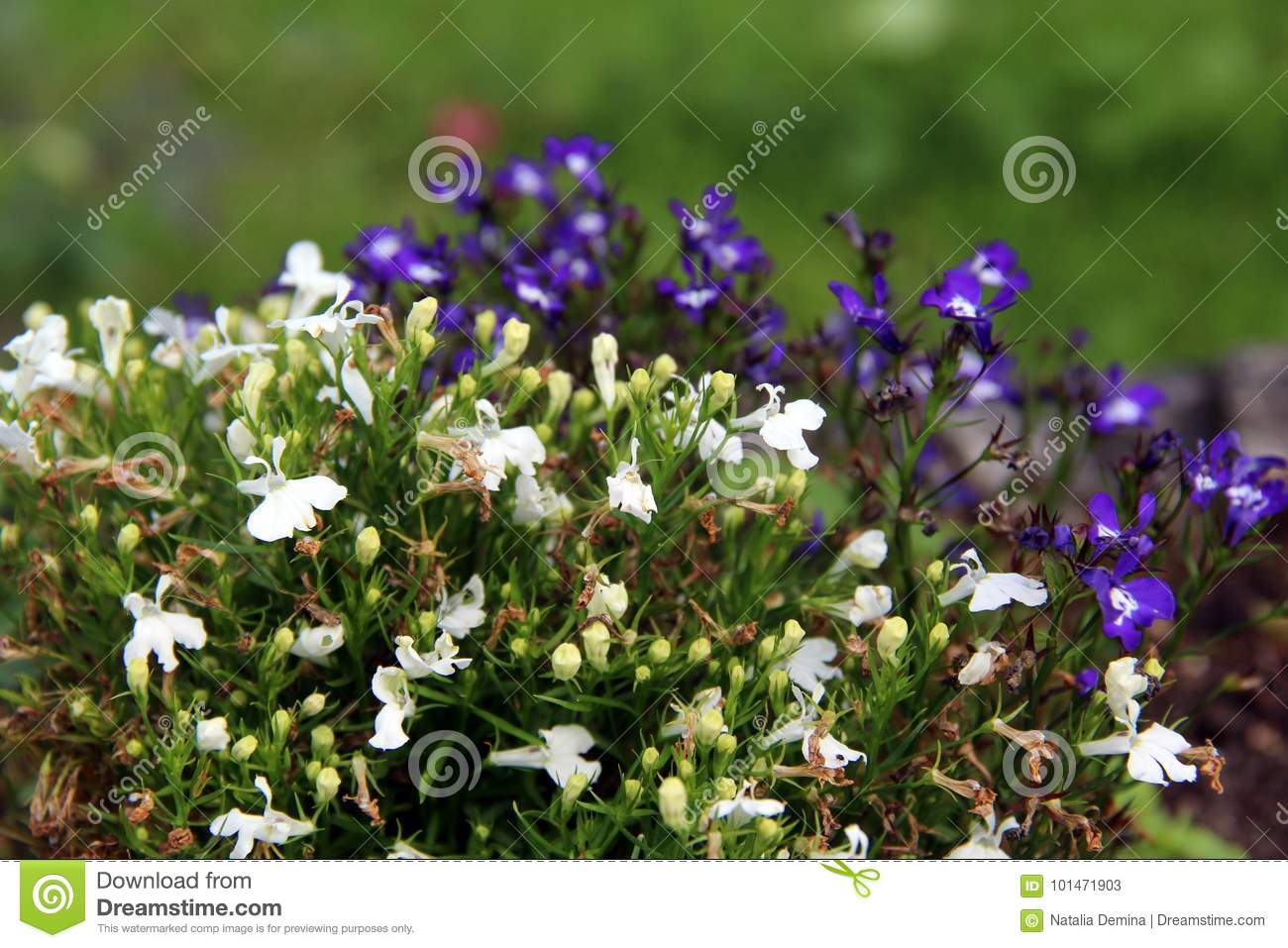 Small White And Purple Flowers Stock Image Image Of Natural