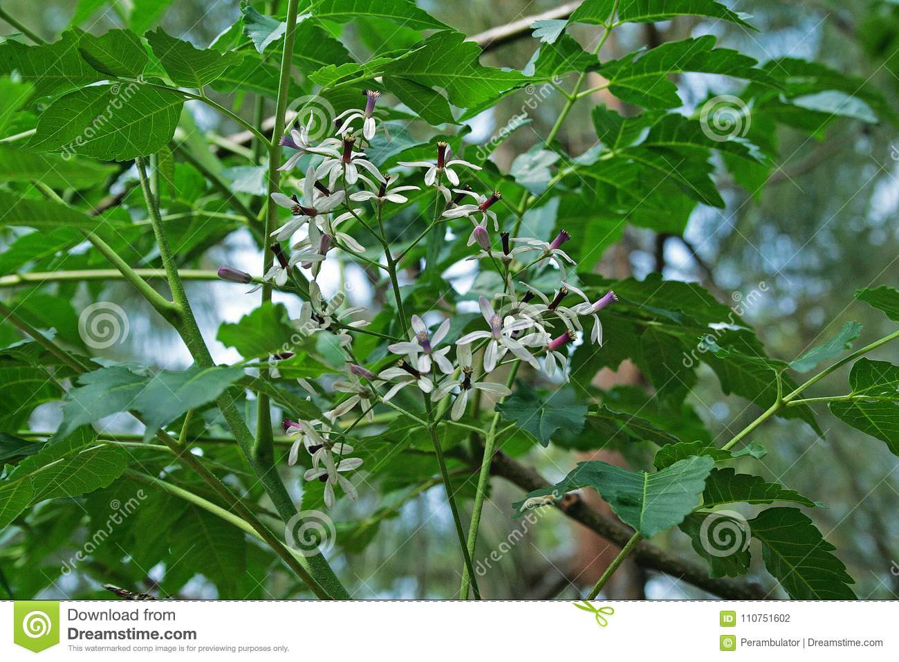 Small White And Purple Syringa Flowers On A Green Tree Stock Photo