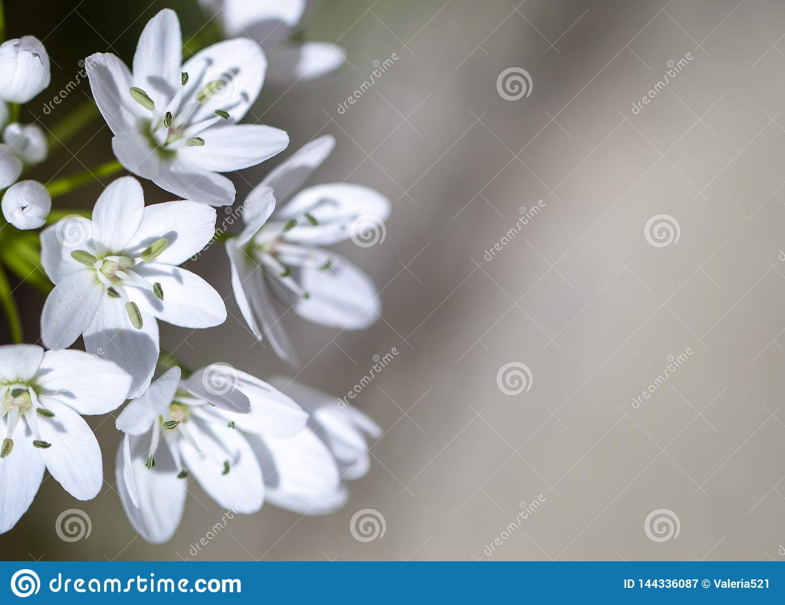 Small white spring flowers