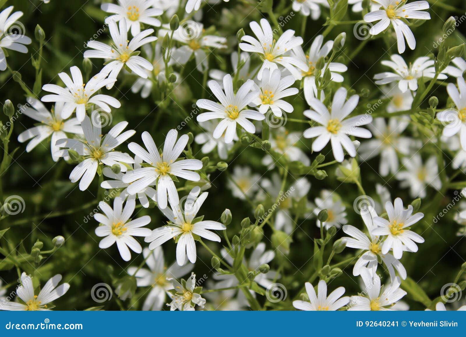 Small White Spring Flowersamomile Stock Image Image Of