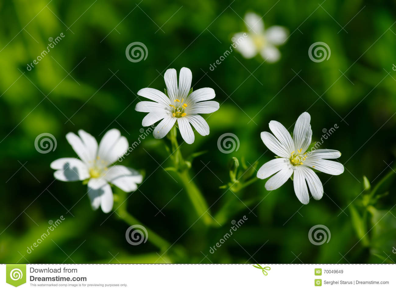 Small White Spring Flowers Stock Image Image Of Nature 70049649