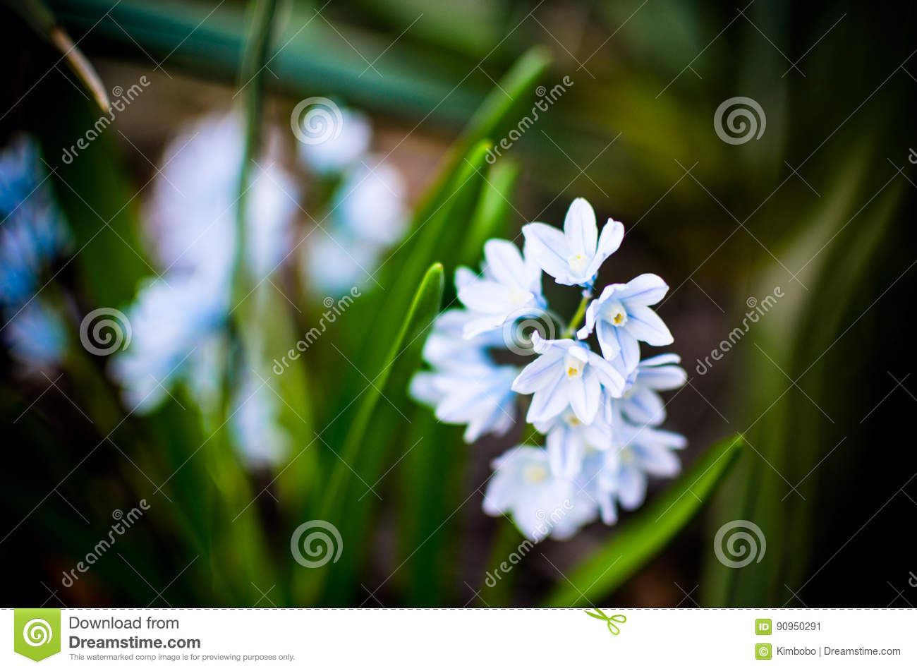 Small White Spring Flowers Puschkinia Scilloides Close Up Stock