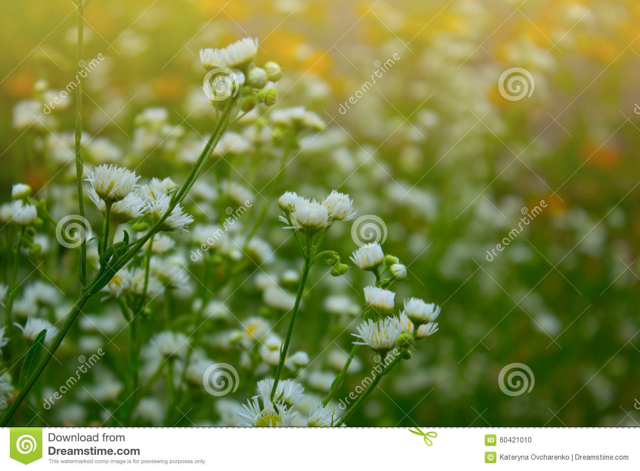 Small White Summer Flowers Stock Photo Image Of Natural 60421010
