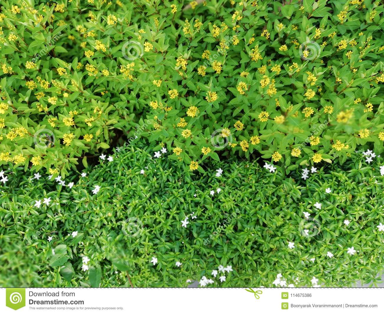 Small white and yellow flowers green leaves garden top view stock download small white and yellow flowers green leaves garden top view stock photo image of mightylinksfo
